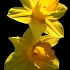 Daffodils by Samantha Higgs