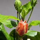 Hibiscus begining by Virginia N. Fred