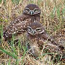 Burrowing Owl #8 by Virginia N. Fred