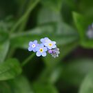 forget me not by louise linskill