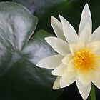 Water Lilly by katw0man