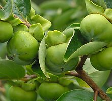 Green persimmon by judyA