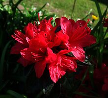 """ Red Azalea's"" by debsphotos"
