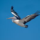 Pelican in flight by johnrf