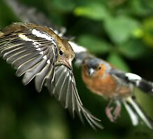 Chaffinches in Flight by dsargent