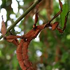 Spiny Stick Insect 1 by Dave Cauchi