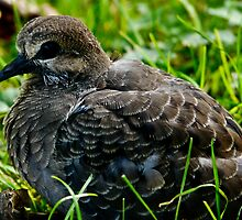 Baby morning dove by Stephen Almendinger