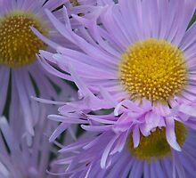 Aster Bunch by ChereeCheree