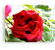 Red Red Rose Canvas Print