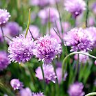 Spring Chives by travellingtwo