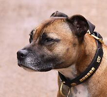 Staffordshire Bull Terrier by ljm000