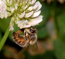Bumble bee by David  Hall