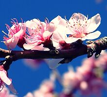Peach Blossom 1 by hirere