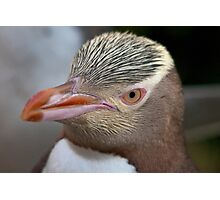 Adult Yellow-eyed Penguin Photographic Print