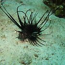 Lion Fish by Christopher Hamilton Lansell