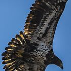 Bald Eagle Juvenile Fly By by Deb Fedeler