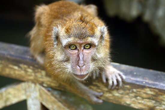 Monkey Malaysia by Paul O'Connell