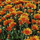 Orange Mums by joan warburton