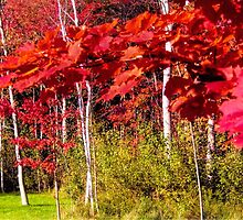 Canadian Maple by Judy Clark