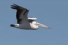 Australian Pelican ~ Natures Own 747 by Robert Elliott