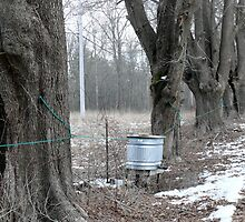 Maple Syrup Collecting in Rhode Island by Jack McCabe