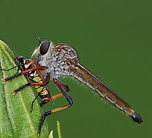 Robber Fly with Lunch by Greg Carlill