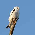 Black-shouldered Kite  by Robert Elliott
