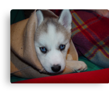 Kozen in da Blanky Husky babe (she died yesterday she was 8 years old Canvas Print