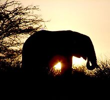 African Elephant in Sunset by alexcoles