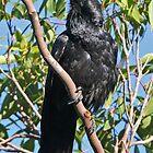 Australian Raven  by Robert Elliott