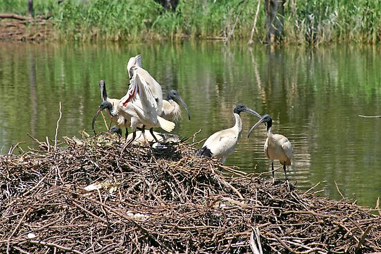 Australian White Ibis ~ The Community Nest by Robert Elliott