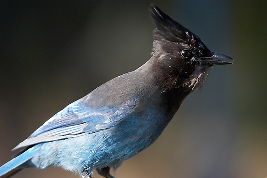 Steller's Jay ~ Provincial Bird of British Columbia, Canada by Robert Elliott