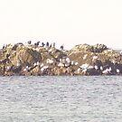 Sea birds at Machrihannish by GEORGE SANDERSON