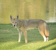 Coyote Beauty ! by Bonnie Pelton