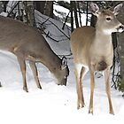 oh deer....its cold.. by John44