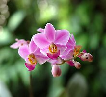 orchid by bayu harsa