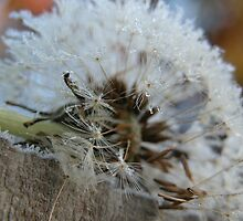 Frozen Dandelion Clock by philippawarr