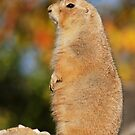 prairie dog in autumn by mc27