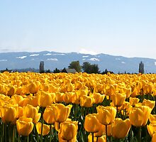 MELLOW YELLOW TULIPS by MsLiz