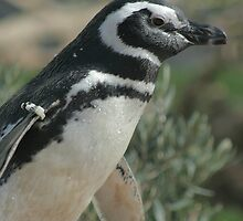 Magellanic Penguin by Sarah Grace