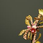 Spider Orchid by Michael Fotheringham Portraits