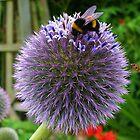 A-B-C Allium-Bee-Closeup by lezvee
