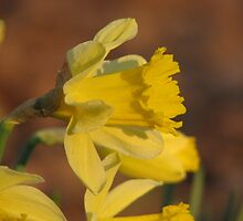 Daffodil Sun by NatureGreeting Cards ©ccwri