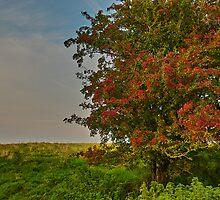 Hawthorn fruits by MariaVikerkaar