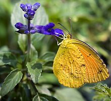 Orange-Barred Sulphur Butterfly by Eyal Nahmias