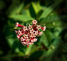 Hoya bloom - I think! by Tim O'Neil