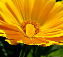 Calendula by Northcote Community  Gardens