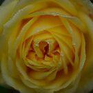 Dewey Rose by Trevor Kersley