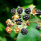 Blackberries by Trevor Kersley