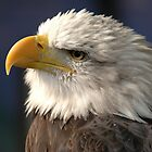 Thoughtful American Bald Eagle by Jonathan Goddard